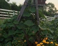 Cucumbers Grow on a Vintage Ladder