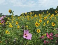 Sunflowers and Rose of Sharon